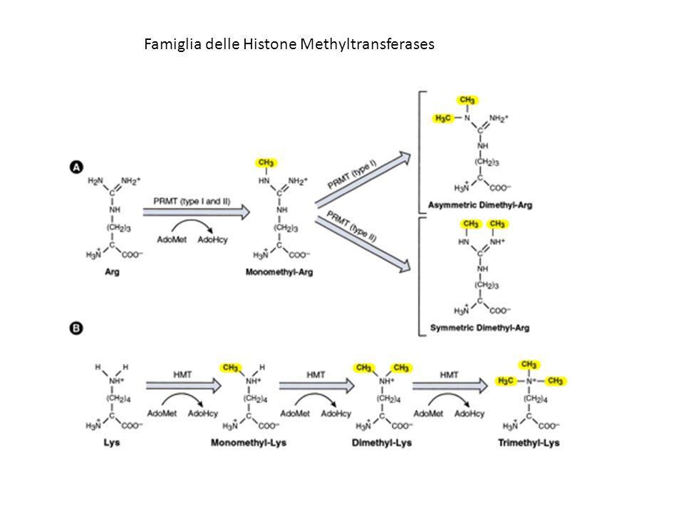 Famiglia delle Histone Methyltransferases