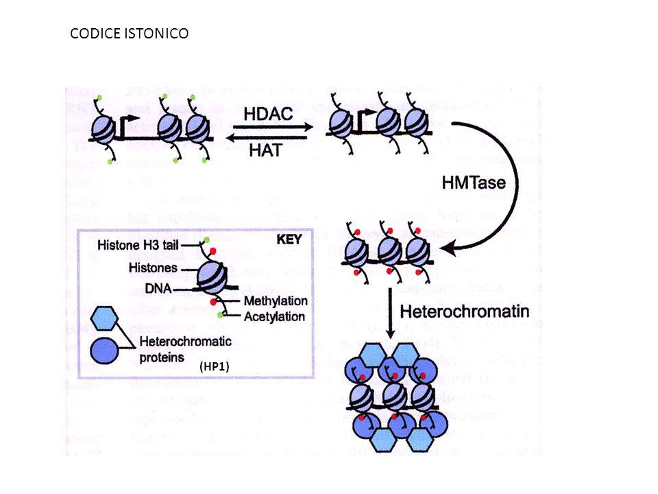 CODICE ISTONICO (HP1)