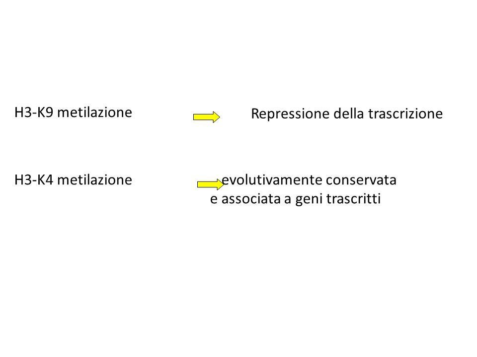 H3-K9 metilazione Repressione della trascrizione. H3-K4 metilazione evolutivamente conservata.