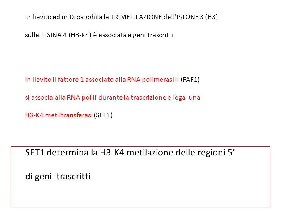 SET1 determina la H3-K4 metilazione delle regioni 5'