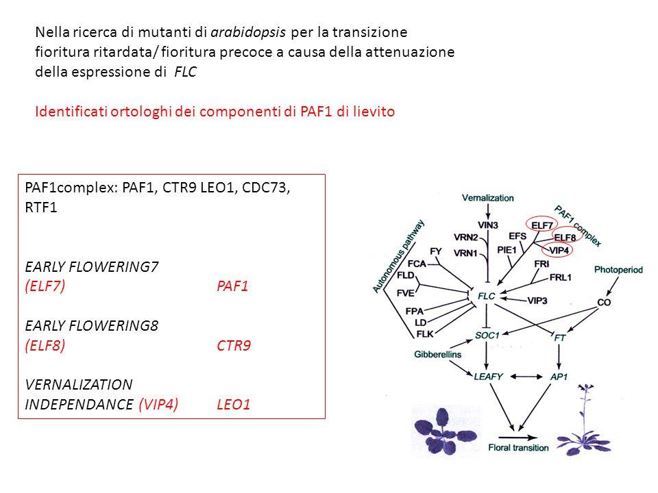 Nella ricerca di mutanti di arabidopsis per la transizione