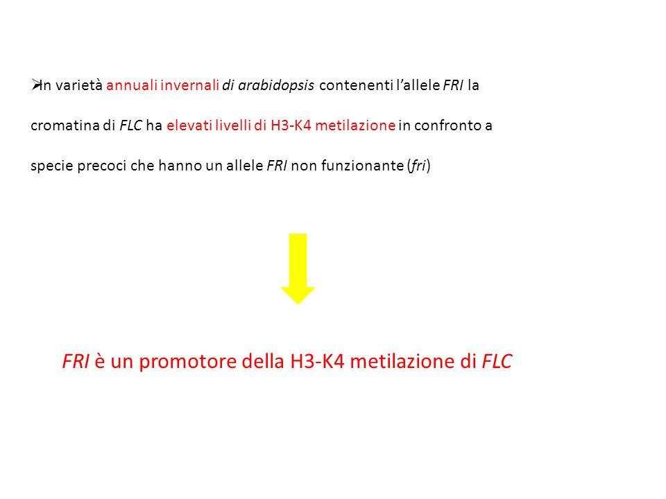 FRI è un promotore della H3-K4 metilazione di FLC
