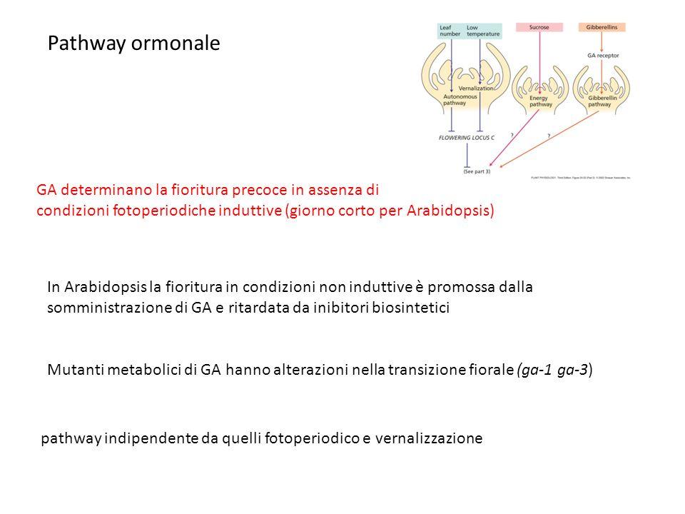 Pathway ormonale GA determinano la fioritura precoce in assenza di