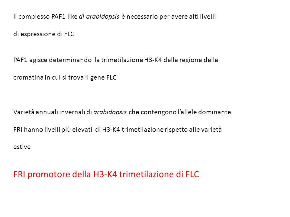 FRI promotore della H3-K4 trimetilazione di FLC