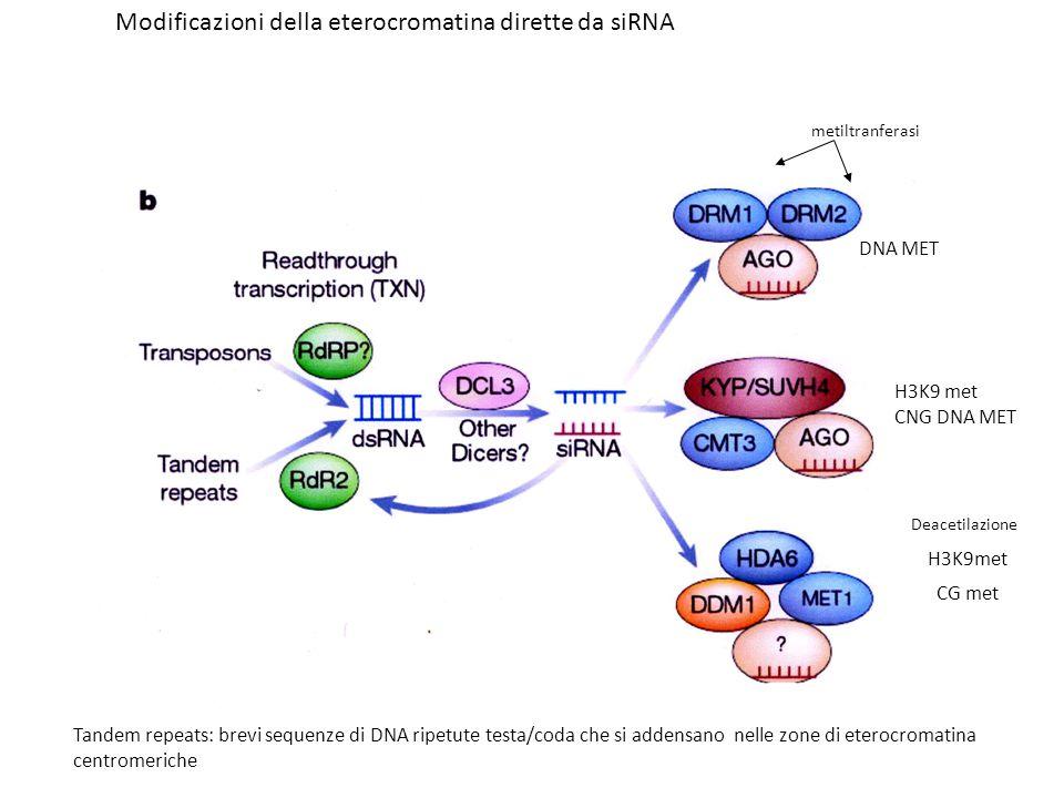 Modificazioni della eterocromatina dirette da siRNA