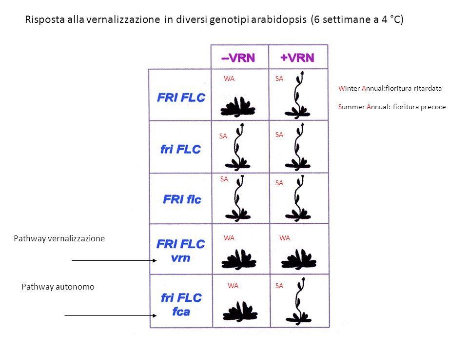 Risposta alla vernalizzazione in diversi genotipi arabidopsis (6 settimane a 4 °C)