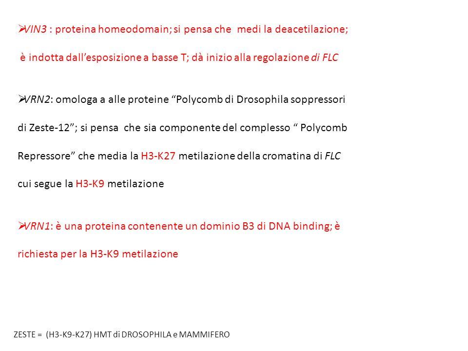 VIN3 : proteina homeodomain; si pensa che medi la deacetilazione;