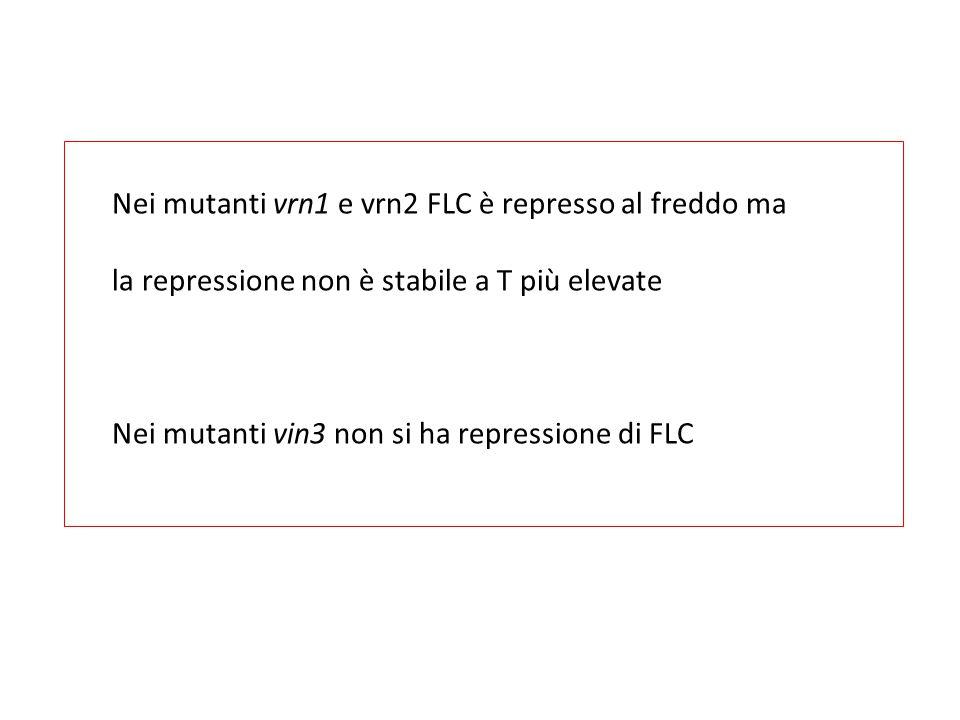 Nei mutanti vrn1 e vrn2 FLC è represso al freddo ma