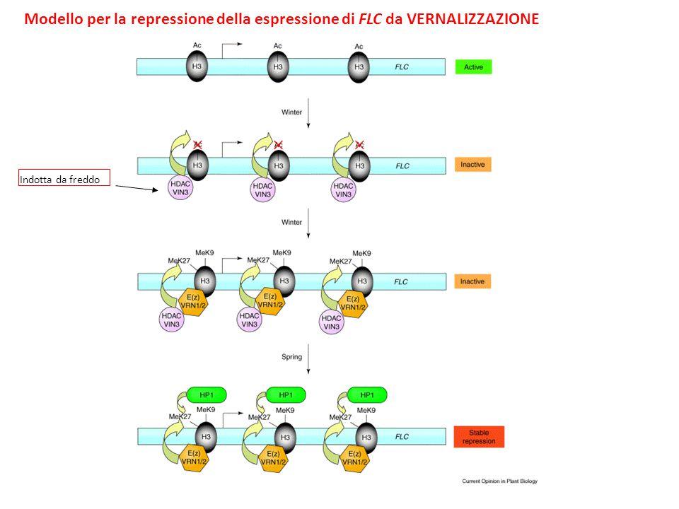 Modello per la repressione della espressione di FLC da VERNALIZZAZIONE