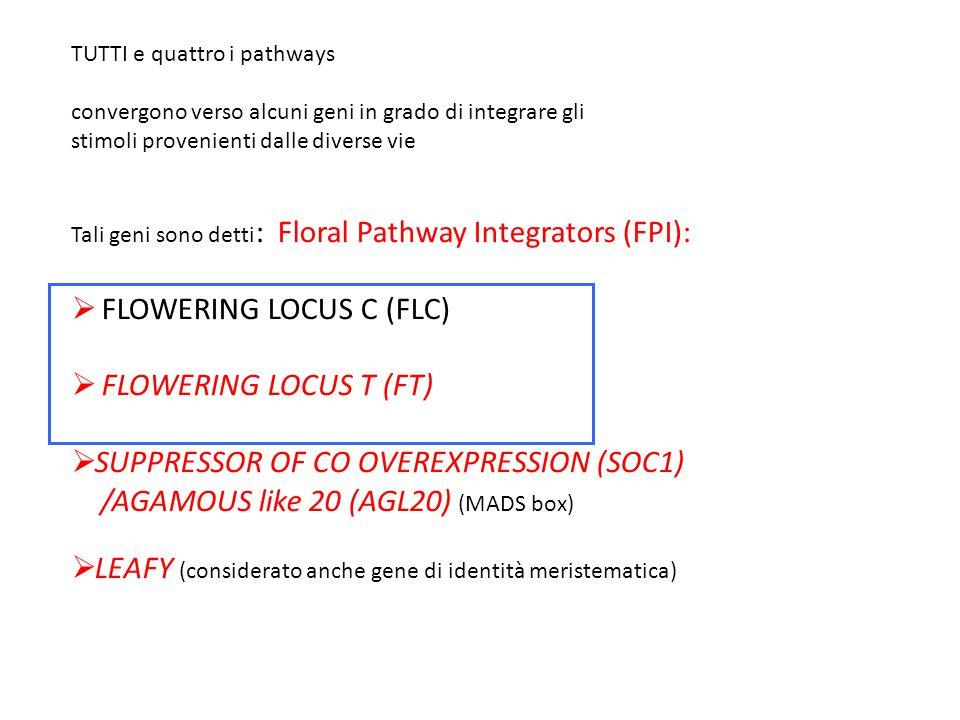 FLOWERING LOCUS C (FLC) FLOWERING LOCUS T (FT)