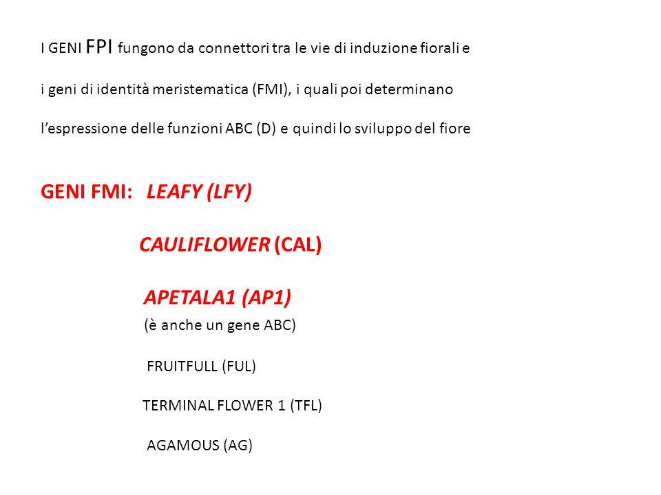 GENI FMI: LEAFY (LFY) CAULIFLOWER (CAL) APETALA1 (AP1)