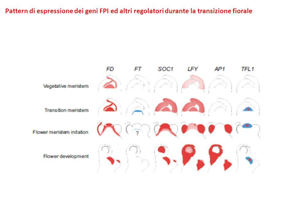 Pattern di espressione dei geni FPI ed altri regolatori durante la transizione fiorale