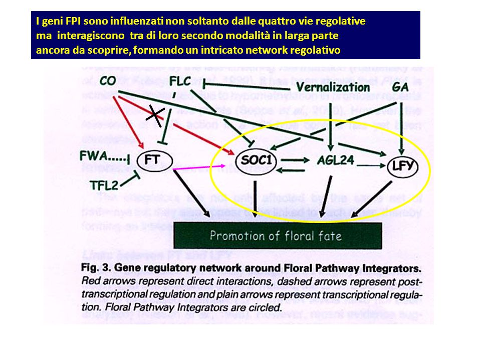 I geni FPI sono influenzati non soltanto dalle quattro vie regolative
