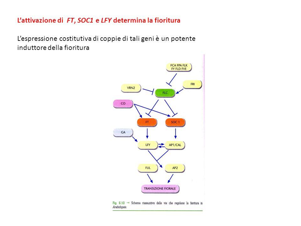 L'attivazione di FT, SOC1 e LFY determina la fioritura