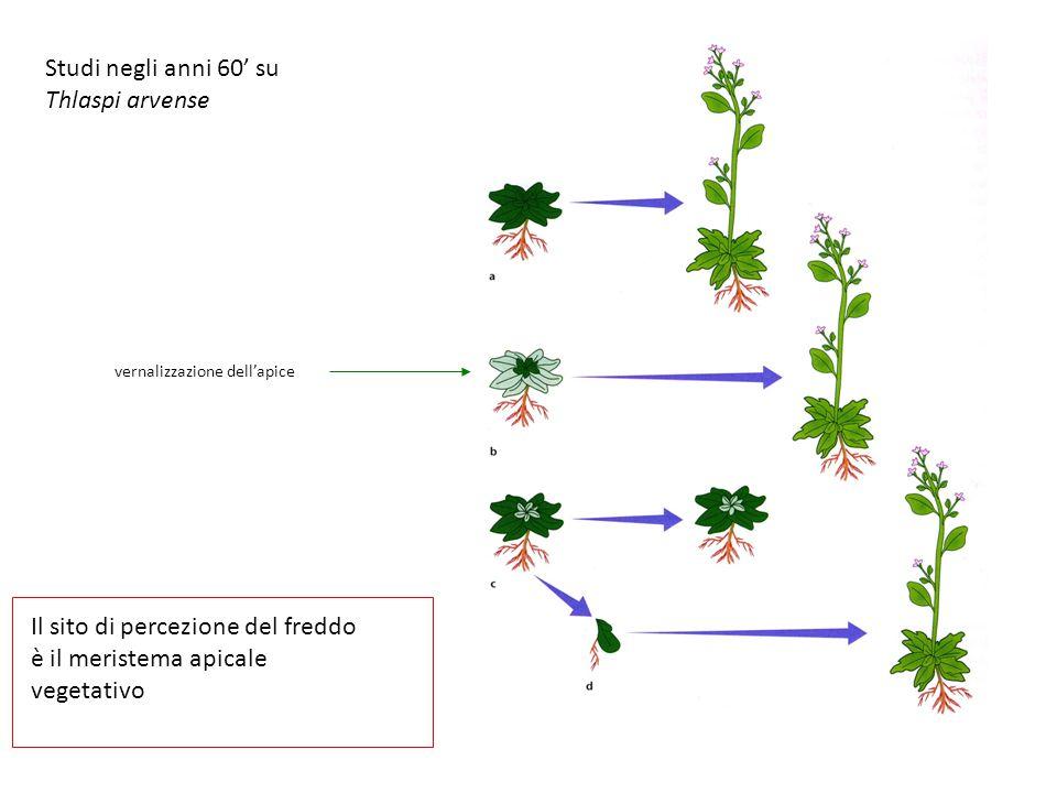 Il sito di percezione del freddo è il meristema apicale vegetativo