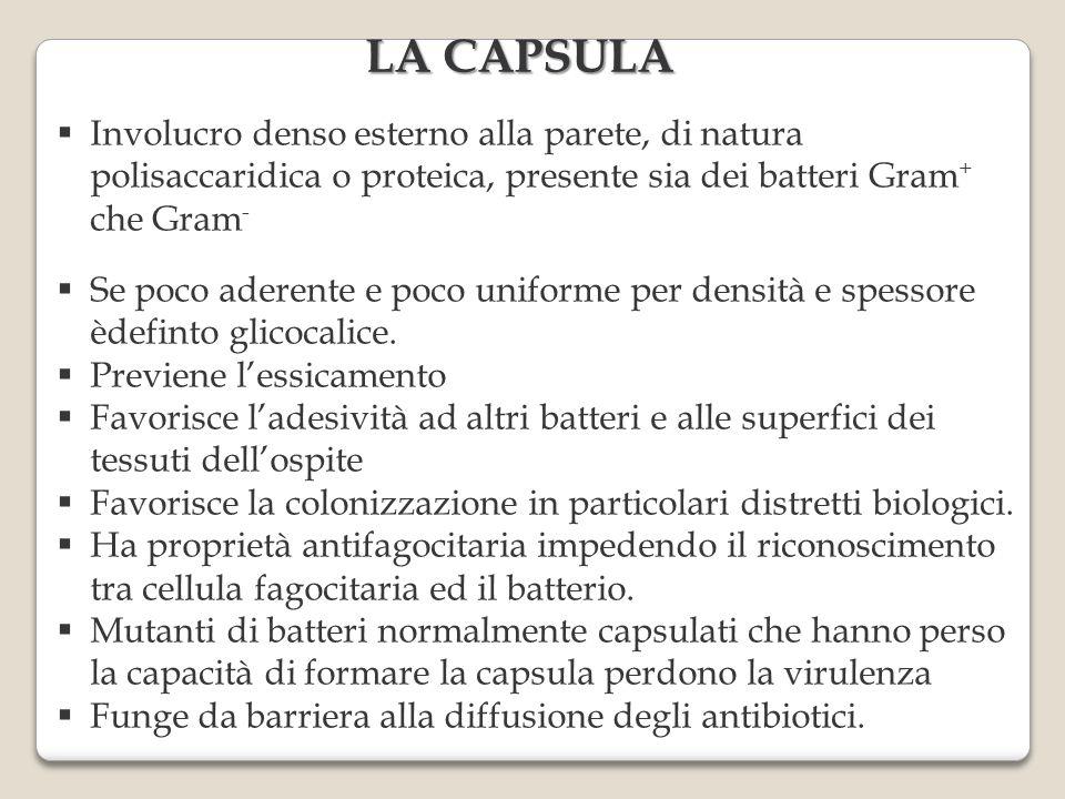 LA CAPSULA Involucro denso esterno alla parete, di natura polisaccaridica o proteica, presente sia dei batteri Gram+ che Gram-