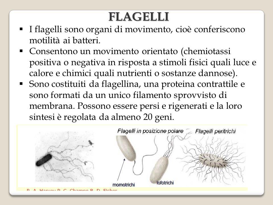 FLAGELLI I flagelli sono organi di movimento, cioè conferiscono motilità ai batteri.
