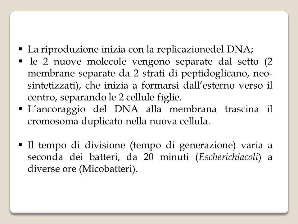 La riproduzione inizia con la replicazionedel DNA;