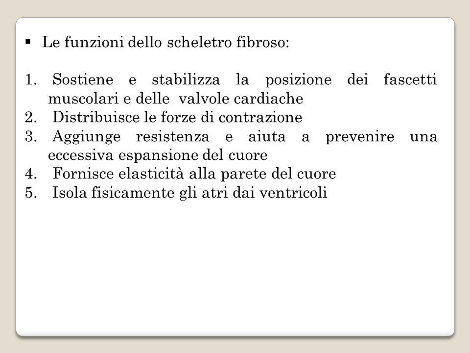 Le funzioni dello scheletro fibroso: