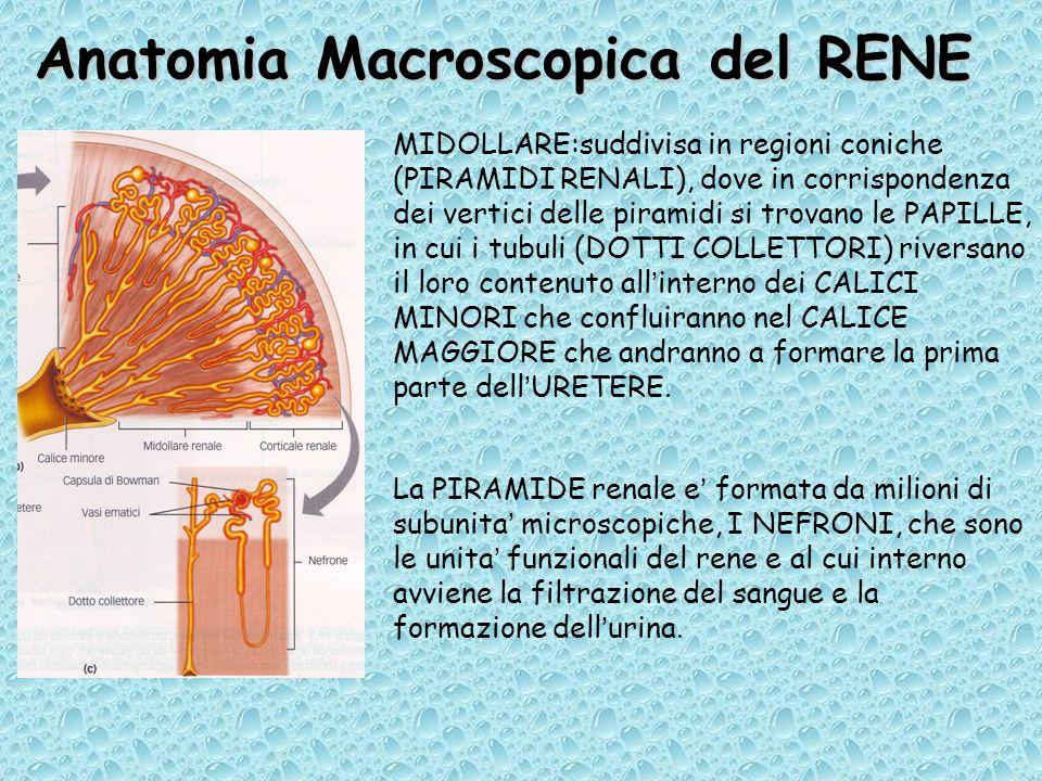 Anatomia Macroscopica del RENE