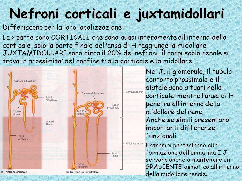 Nefroni corticali e juxtamidollari