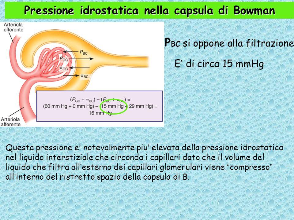 Pressione idrostatica nella capsula di Bowman