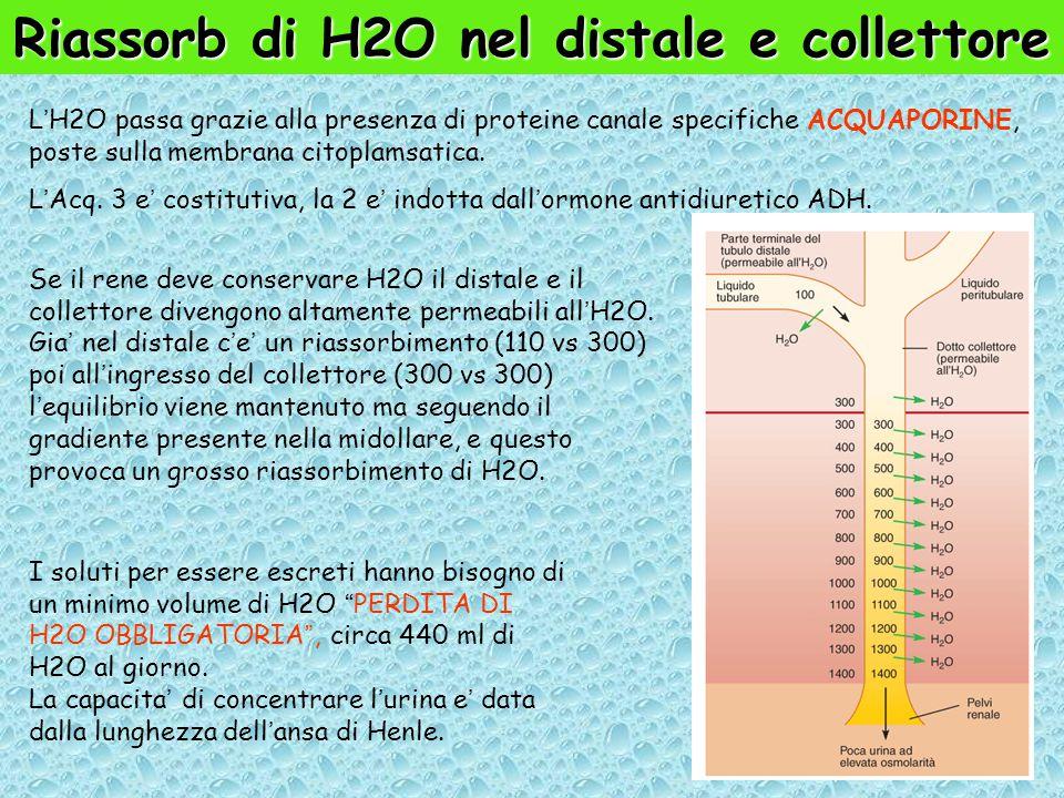 Riassorb di H2O nel distale e collettore