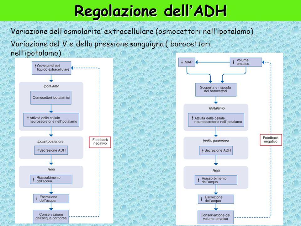 Regolazione dell'ADH Variazione dell'osmolarita' extracellulare (osmocettori nell'ipotalamo)