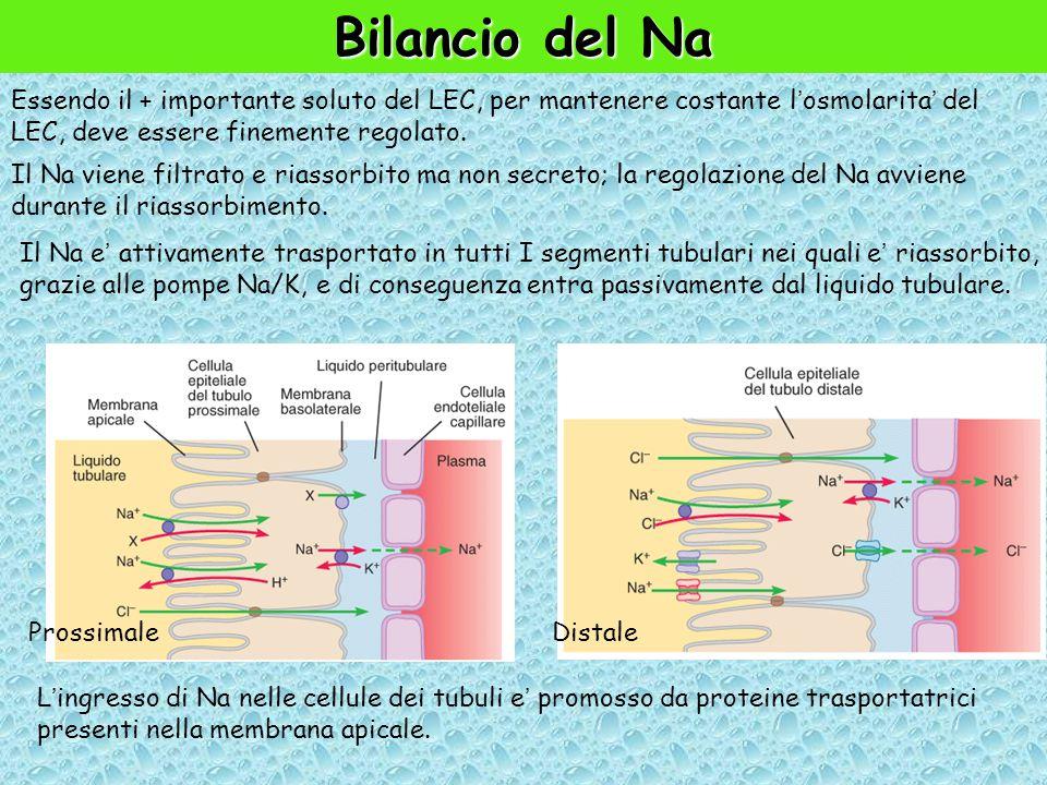 Bilancio del Na Essendo il + importante soluto del LEC, per mantenere costante l'osmolarita' del LEC, deve essere finemente regolato.