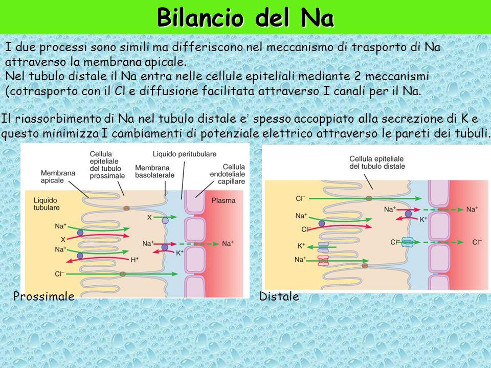 Bilancio del Na I due processi sono simili ma differiscono nel meccanismo di trasporto di Na attraverso la membrana apicale.