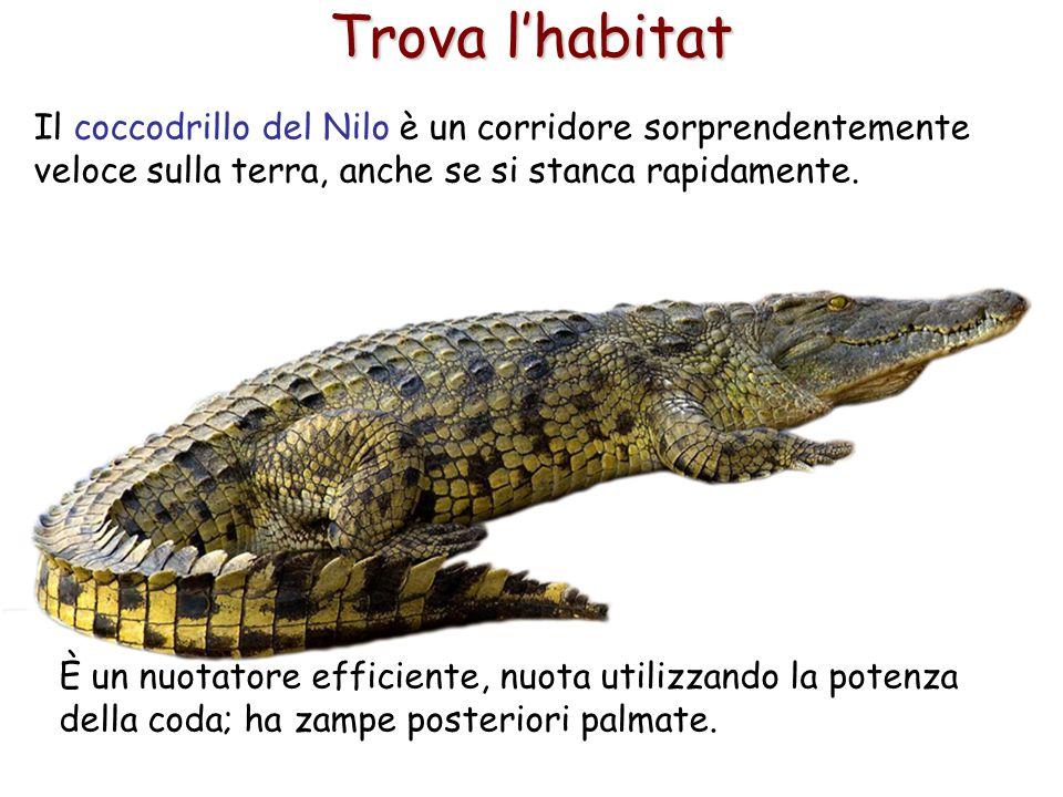 Trova l'habitat Il coccodrillo del Nilo è un corridore sorprendentemente veloce sulla terra, anche se si stanca rapidamente.