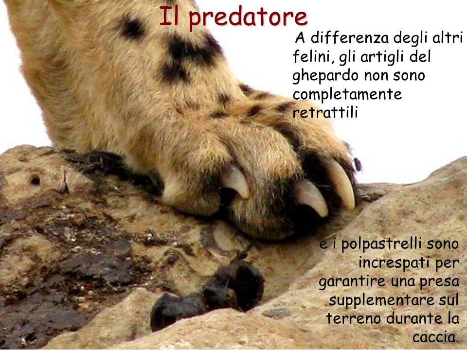 Il predatore A differenza degli altri felini, gli artigli del ghepardo non sono completamente retrattili.