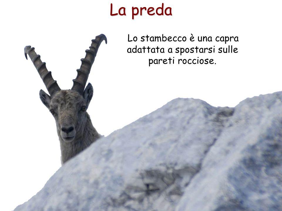 Lo stambecco è una capra adattata a spostarsi sulle pareti rocciose.