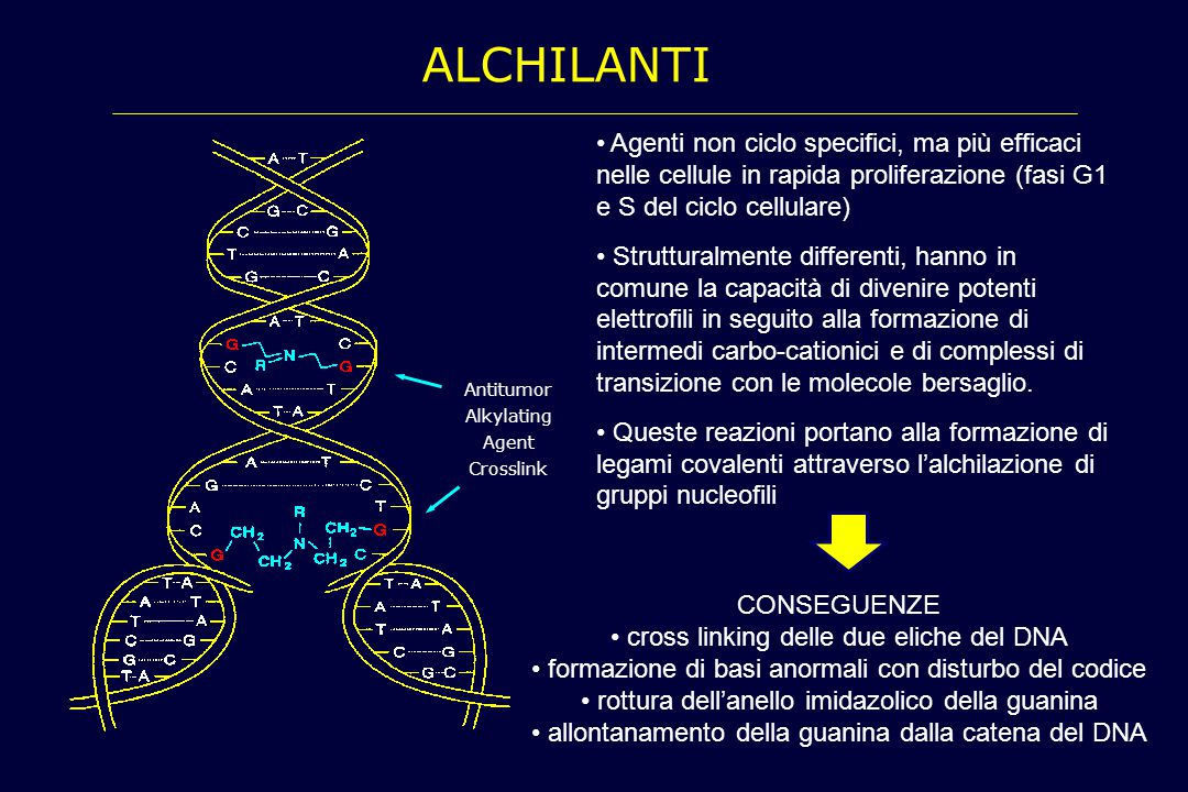Alchilanti Agenti non ciclo specifici, ma più efficaci nelle cellule in rapida proliferazione (fasi G1 e S del ciclo cellulare)