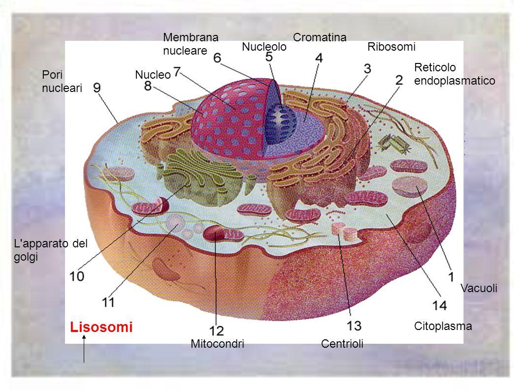 Lisosomi Membrana nucleare Cromatina Nucleolo Ribosomi