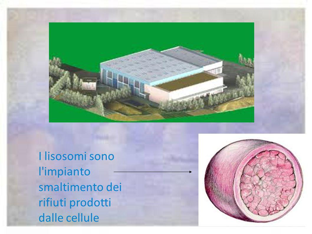 I lisosomi sono l impianto smaltimento dei rifiuti prodotti dalle cellule