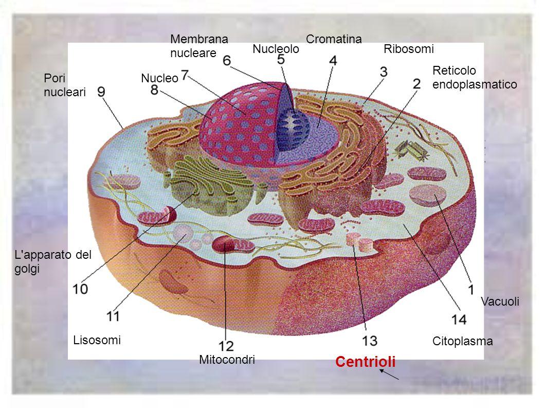 Centrioli Membrana nucleare Cromatina Nucleolo Ribosomi