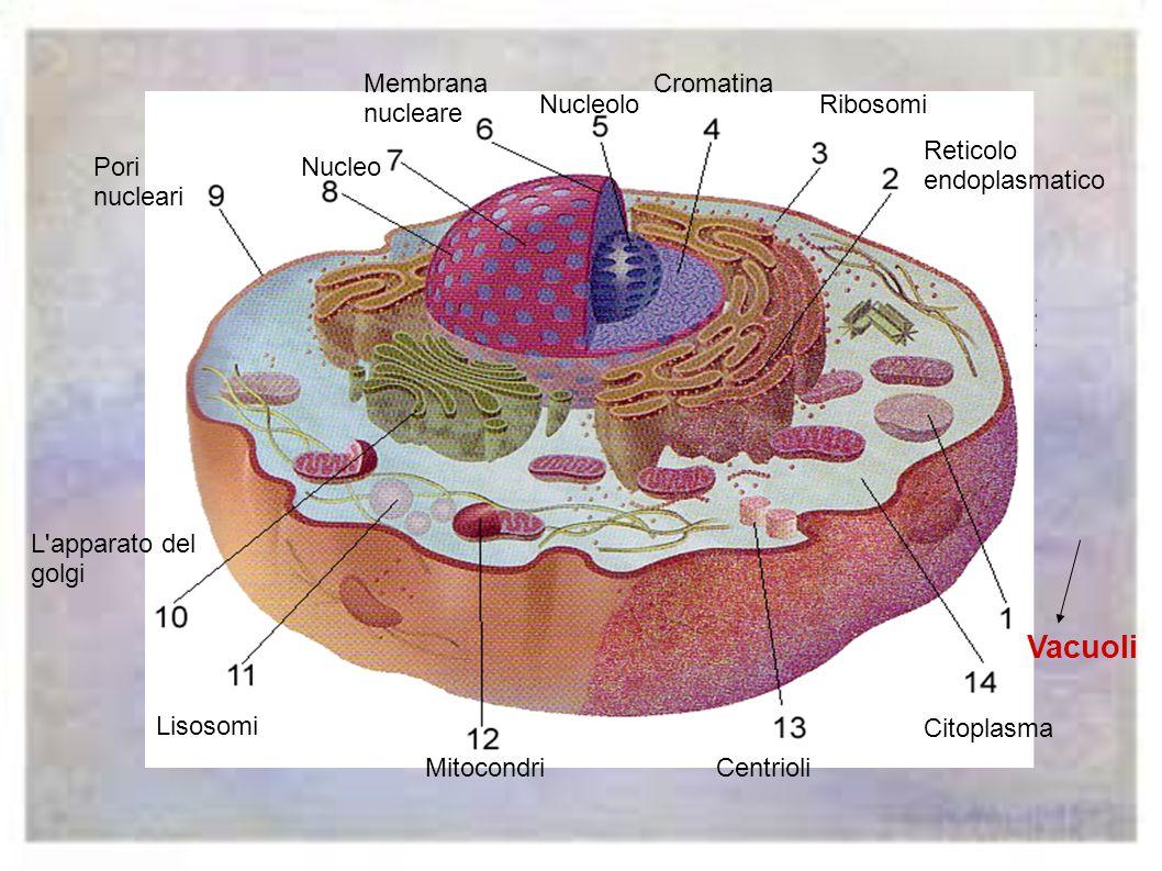 Vacuoli Membrana nucleare Cromatina Nucleolo Ribosomi