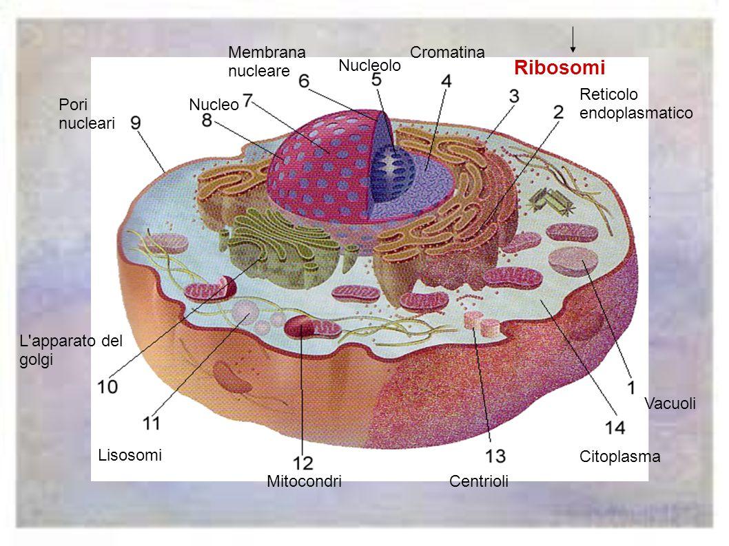 Ribosomi Membrana nucleare Cromatina Nucleolo Reticolo endoplasmatico