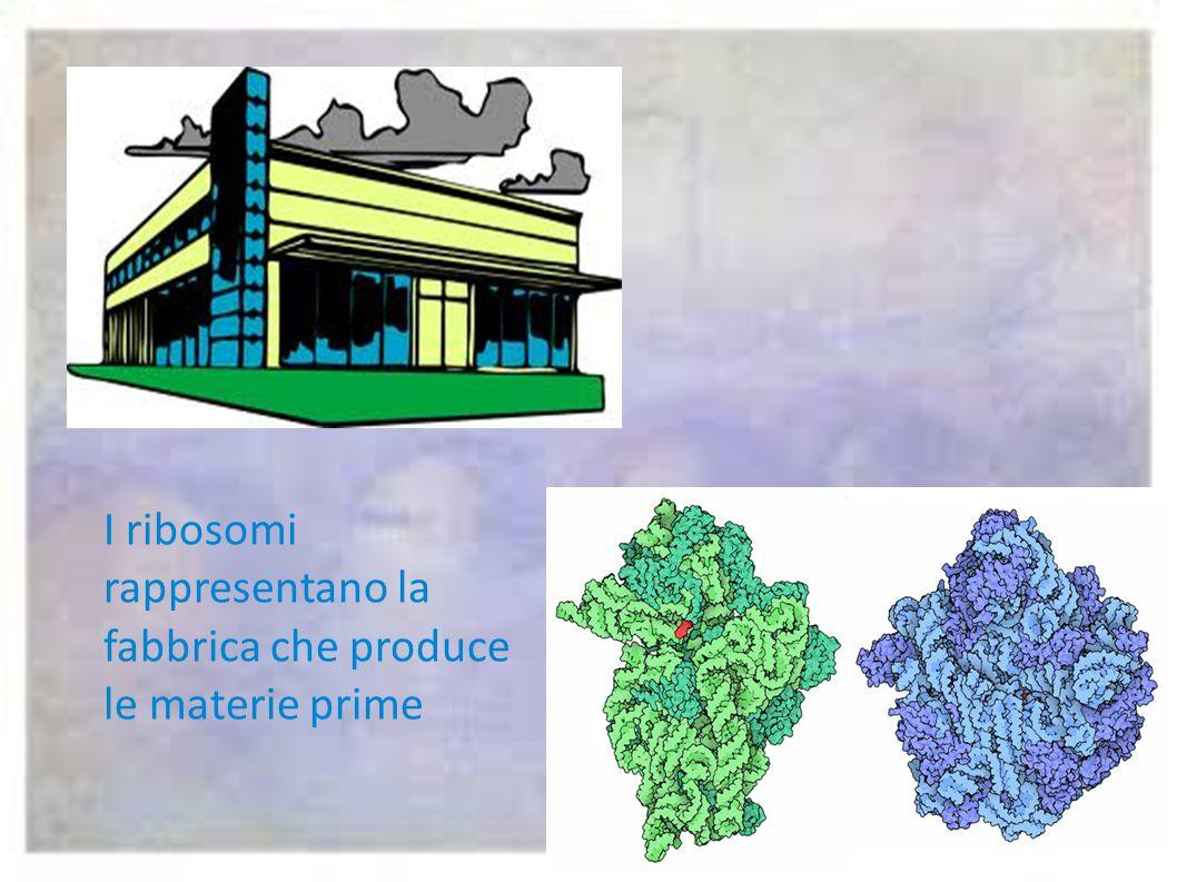 I ribosomi rappresentano la fabbrica che produce le materie prime