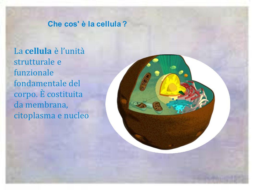 Che cos è la cellula . La cellula è l'unità strutturale e funzionale fondamentale del corpo.