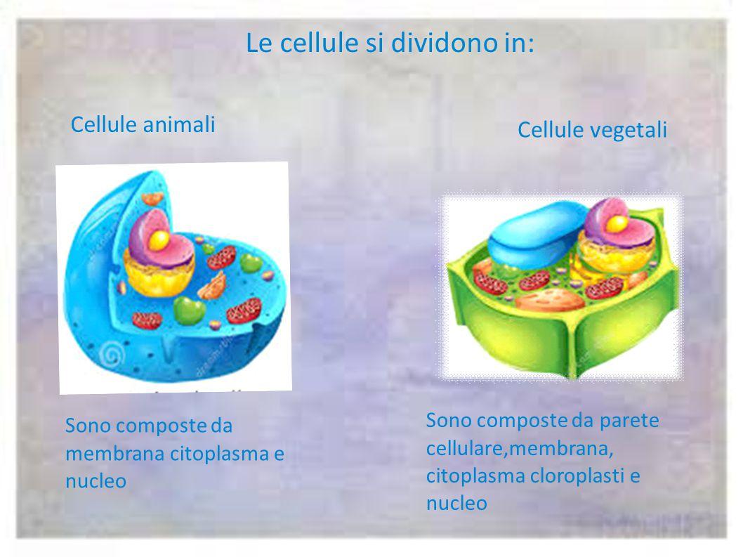 Le cellule si dividono in: