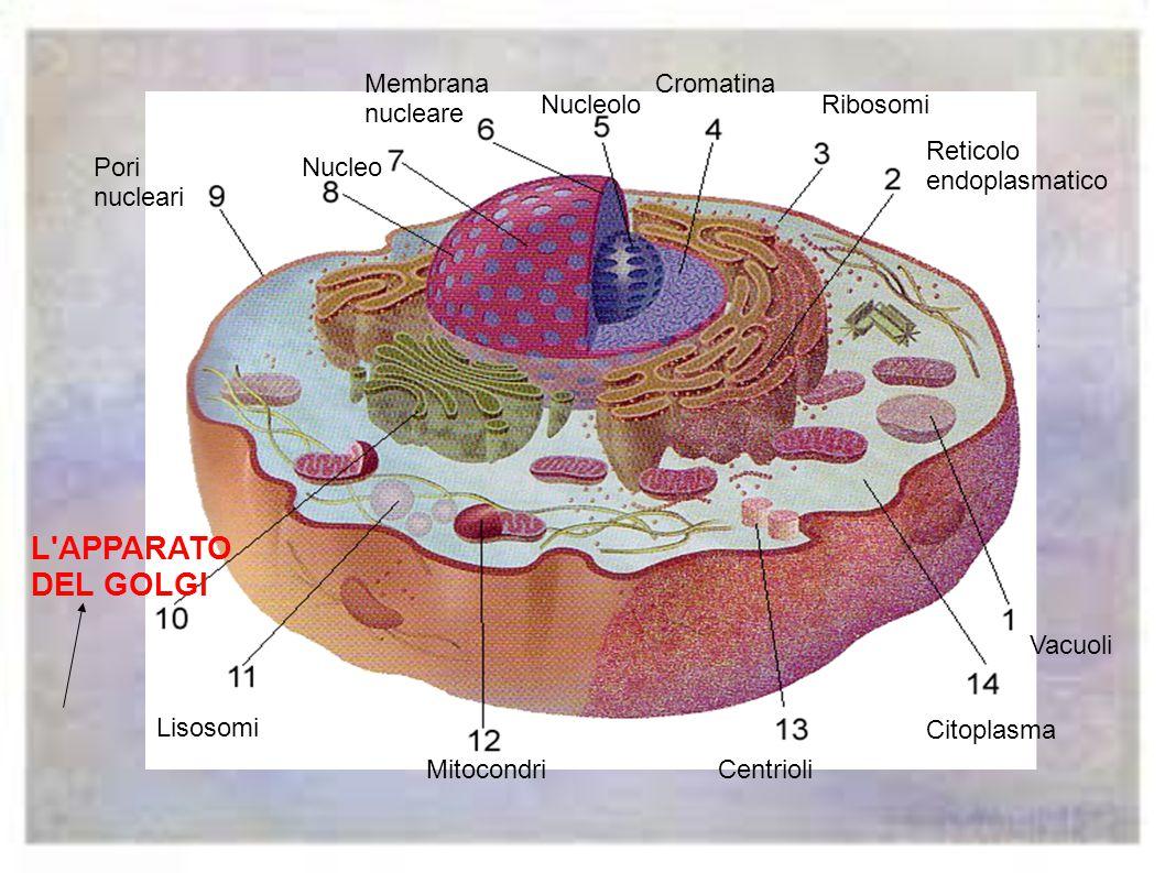 L APPARATO DEL GOLGI Membrana nucleare Cromatina Nucleolo Ribosomi