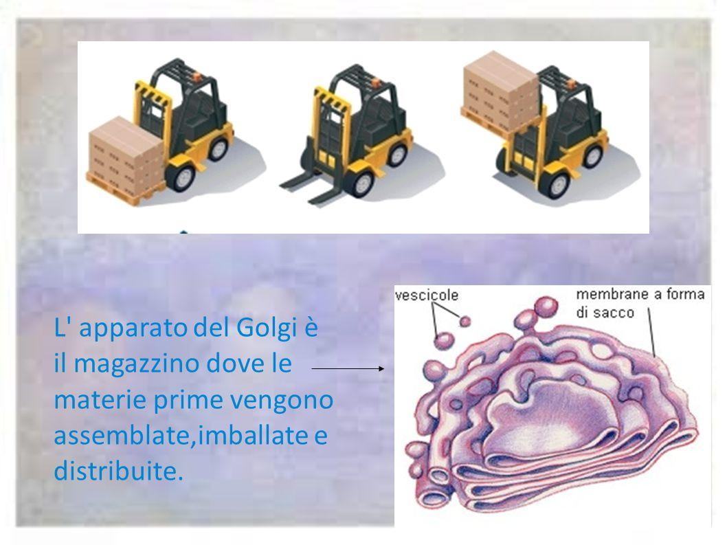 L apparato del Golgi è il magazzino dove le materie prime vengono assemblate,imballate e distribuite.