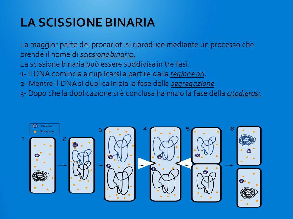 LA SCISSIONE BINARIA La maggior parte dei procarioti si riproduce mediante un processo che prende il nome di scissione binaria.