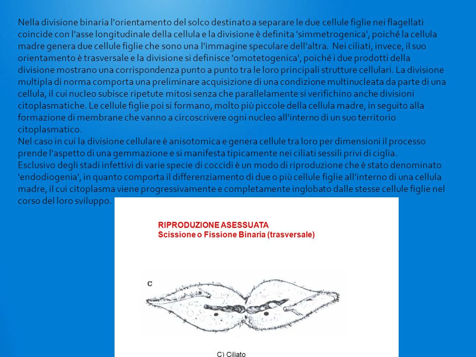 Nella divisione binaria l orientamento del solco destinato a separare le due cellule figlie nei flagellati coincide con l asse longitudinale della cellula e la divisione è definita simmetrogenica , poiché la cellula madre genera due cellule figlie che sono una l immagine speculare dell altra.