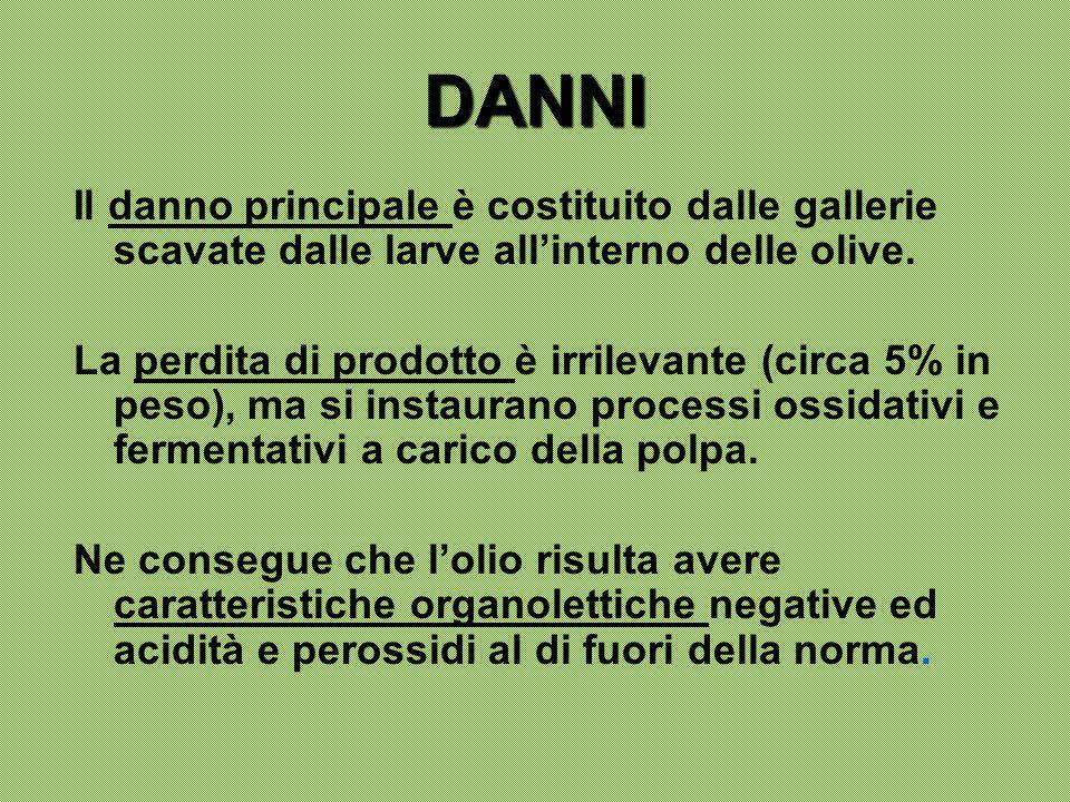 DANNI Il danno principale è costituito dalle gallerie scavate dalle larve all'interno delle olive.
