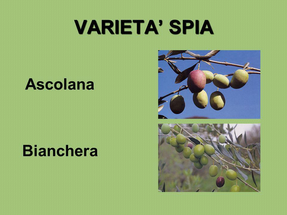 VARIETA' SPIA Ascolana Bianchera