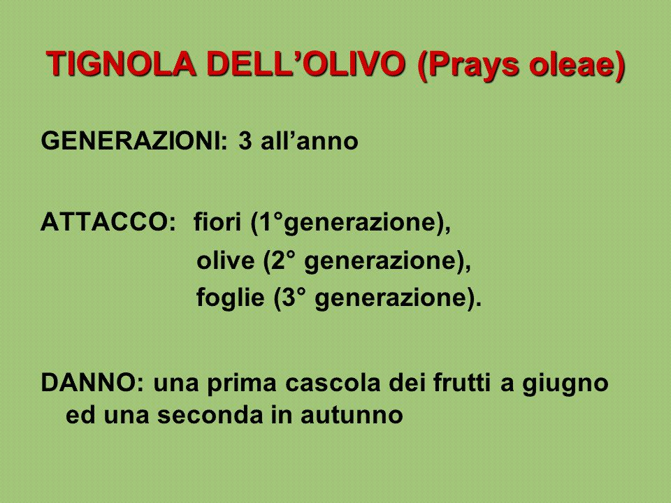 TIGNOLA DELL'OLIVO (Prays oleae)