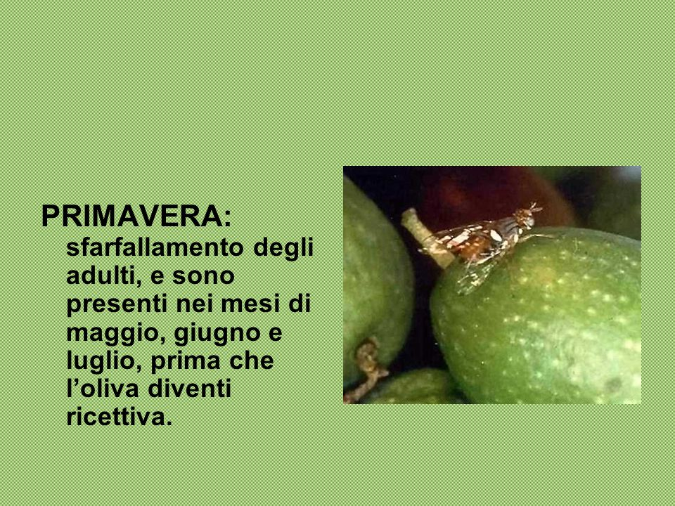 PRIMAVERA: sfarfallamento degli adulti, e sono presenti nei mesi di maggio, giugno e luglio, prima che l'oliva diventi ricettiva.